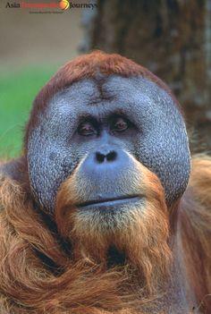 Orangutang   www.AsiaTranspacific.com