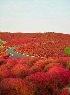 Kochia Hill - Giappone, la collina dei cipressini