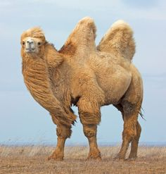 A spectacular Bactrian camel! Alpacas, Camel Animal, Bactrian Camel, Giraffe, Elephant, Desert Animals, Okapi, Nature Color Palette, Rare Animals