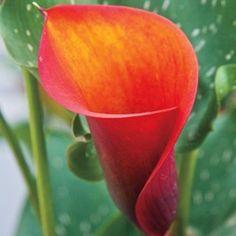 hot shot calla lily   Calla Lily pink done right # 3
