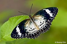 Butterflies of Singapore: Butterfly of the Month - January 2012