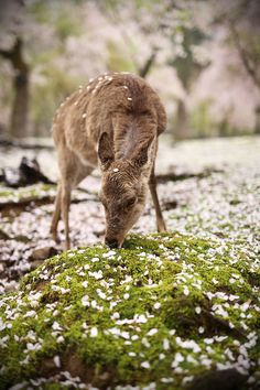 Nara Sika Deer. - The Nara Park in Nara, Japan, is a truly magical place during the cherry blossom (Sakura). The park is inhabited by sacred Sika Deers which can be fed by visitors. When I arrived it started raining and both rain drops and cherry blossoms fell down to the ground. The deers came out of the forest and I remained silent, waited for the perfect shot. And it came...