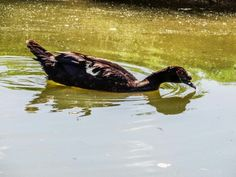 A duck swims in the pond