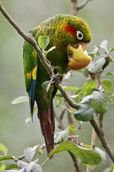 https://flic.kr/p/k8jmBr | Sulphur-winged Parakeet | Suenos de bosque, Costa Rica