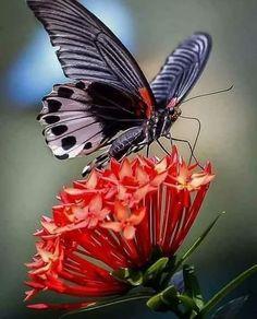 Butterfly Species, Butterfly Art, Types Of Butterflies, Beautiful Butterflies, Pretty Flowers, Good Morning Coffee, Good Morning Quotes, Italian Greetings, Italian Memes