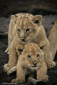 ~~Lion cubs, one standing over the other with mother's tail in the foreground, Masai Mara, Kenya Cute Baby Animals, Animals And Pets, Lion Photography, Cute Lion, Lion Cub, Mundo Animal, Cute Animal Pictures, Big Cats, Cat Day