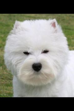 Show Westie head Westland Terrier, West Highland Terrier, Cat Grooming, Dog Boarding, Westies, Dog Hairstyles, Dog Haircuts, Cat Breeds, Dog Life