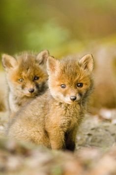 These Foxy Little Babiescountryliving