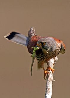 Common Kestrel (Falco tinnunculus) By: Sandor Bernath Dogs With Jobs, Bee Hummingbird, American Kestrel, Hunting Art, Bald Eagles, Bird Cages, Drawing Stuff, Birds Of Prey, Raptors