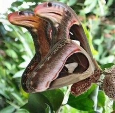 Atlas Moth... the shape of its wing is camouflaged to represent a cobra snake. When disturbed it falls to the ground and withers about to complete the illusion.
