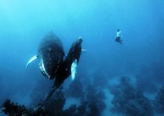 Free-Diving: this guy went underwater on a free dive (no scuba gear! As you can see, he also was able to swim with not one but two huge whales. Under The Water, Under The Sea, Pesca Sub, Scuba Diving Quotes, Epic Photos, Funny Photos, Wale, Delphine, Whales
