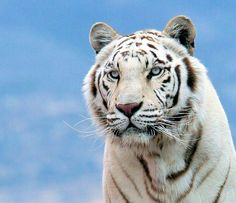 White Bengal tigers are rare creatures...more precious than ever..let' love and protect them now an always...