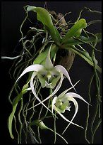 Aeranthes henrici. A species orchid ( color)