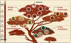 Human family tree from the Smithsonian human origins site. The new fossil goes somewhere hear the base of the Homo group. Evolution Science, Theory Of Evolution, Human Evolution Tree, Human Family Tree, Homo Habilis, Tree Surgeons, Science Magazine, Empire Romain, Early Humans