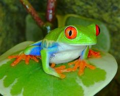 red eyed tree frog pictures | Animals Pictures Gallery: Red Eye Tree Frogs