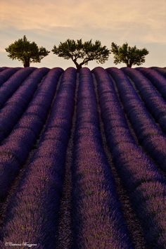 The sentinels Lavender by Caterina Bruzzone on 500px