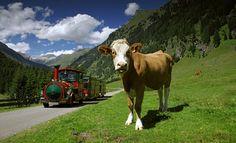 Tschu Tschu Bahn im Pöllatal Cow, Holiday, Summer, Animals, Bahn, Hiking With Kids, Ski Trips, Kids Fun, Animais