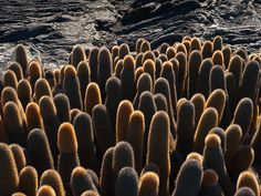One of the strangest landscapes I've ever seen! Cucumber shaped lava cacti framed by pools of dried black lava in the Galapagos.