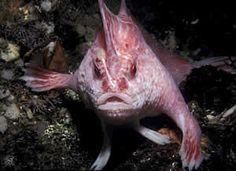pink handfish