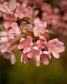 Dreamy branch of soft pink flowers in spring. - Open Edition - Location: Springbank Gardens, London, Ontario, Canada