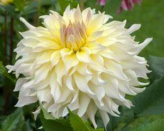 Wyn's Farmer John (#3232) Classification: Dekorative Dahlien Color: hellgelb, rosa Hauch Height: circa 100 cm Blossom size: größer als 25 cm