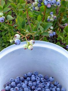 The blueberries are ripening late this year. Last year the first pick was ready by the time I got home from Portland ; this year, I just fi. Canning Food Preservation, Preserving Food, Canned Blueberries, Gardening, Canning Recipes, Fall Harvest, Fruits And Veggies, Food Storage, Preserves