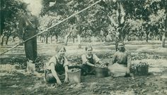 Prune workers toil at a Vancouver farm in this undated photo. From left are Grant Anderson, (unknown) Anderson, unknown, Mrs. Anderson. The date of the photo is not known.