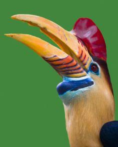 2.捕.アカコブサイチョウ インドネシア。体長100センチほど。 ウソみたいな配色をしたアマゾンの怪鳥。 ヒナが巣立った後も夫婦は生涯を共にする。