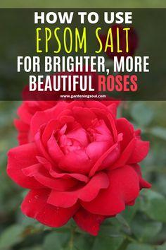 Epsom Salt For Roses, Epsom Salt For Plants, Rose Bush Care, Rose Care, Garden Soil, Garden Care, Rose Plant Care, Planting Roses, Roses Garden