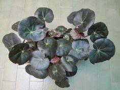begonia erythrophylla