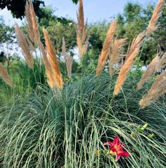 Ravennagrass adds drama to any landscape. Details: http://www.midwestliving.com/garden/ideas/best-ornamental-grasses-for-midwest-gardens/?page=8,0