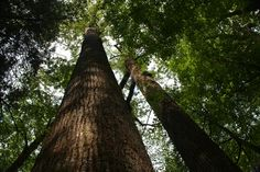 Old Growth Tulip Trees in Great Smoky Mountains National Park.