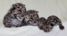 Clouded Leopard Cubs Born at Nashville Zoo