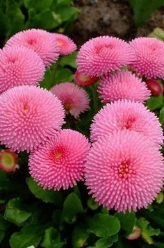 "Bellis ""Pomponette Rose"" is widely cultivated and prized for it's long lasting early spring blooms. Strange Flowers, Rare Flowers, Exotic Flowers, Amazing Flowers, Pink Flowers, Beautiful Flowers, Pink Perennials, Bellis Perennis, Florida Plants"