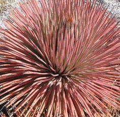 Agave stricta var rubra  - Red Hedgehog Agave