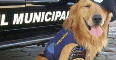 Morre cão que ajudou a prender 1 mil pessoas: 'Perdi meu amigo', diz GCM