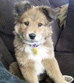 Golden Retriever Husky Mix - This. Is. My. Dream. Dog. I had no idea my two favorite dogs could exist in one!