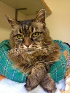 There are dozens of reasons to adopt an older cat or dog. Older pets are a fantastic fit for many people. They're calmer, litter trained and have fully developed personalities - you know what you are going to get. Seniors rock! At 15 years of age, Mew mew is looking for her retirement home. Meet her at the BC SPCA Victoria Branch