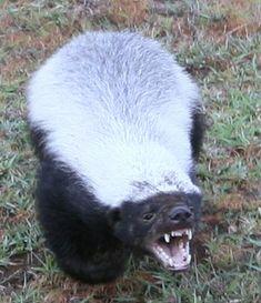 The Baddest Mammal On the Planet; The Honey Badger.