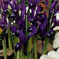 Kevätkurjenmiekka Purple Gem