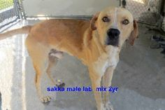 Please do not give up on SAKKA ★TO BE DESTROYED 1/27/15★RESCUES PLEASE STEP UP!!★ - Sakka Breed:Yellow Labrador Retriever (mix breed) Age: Young adult Gender: Male Size: Medium - Call Silvia and Debbie now,,,,,Silvia is 910-876-0539 and Debbie is 339-832-0806. If Silvia's mailbox is full you can Text her. Transportation is generally available up and down the East Coast from NC, VA, MD, NJ, PA, NY and the North East