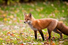 Colors of foxes vary depending on the type of fox and the time of year. Some foxes change colors with the seasons, others have different color morphs. Rabbit Hutch And Run, Rabbit Hutches, Pink Champagne Fox, Fox Facts, Fox Information, Bat Eared Fox, Grey Fox, Silver Foxes, Graphic Design Software