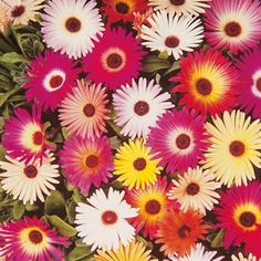 Livingstone Daisy Seeds - Sparkles Mix - 119304 - Flowers to Sow in February - When to Sow Flowers - Flower Seeds - Gardening