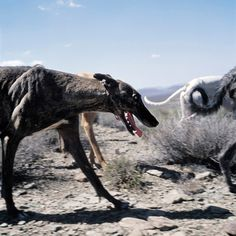 There is amazing exquisiteness to Daniel Naudé's work, a South African Photographer. Naudé began this Animal Farm series during a road trip from Cape Town to Mozambique in Capturing str… Farm Animals, Cute Animals, Farm Photography, Lurcher, Like A Cat, Grey Hound Dog, Wild Dogs, Hunting Dogs, Animals Of The World