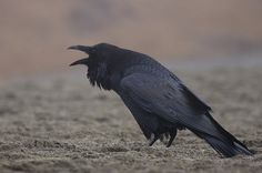 A raven: the larger, deeper voiced cousin of the crow, also on the increase locally. Photo: Elaine Miller Bond