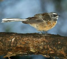 Common Birds of the New Zealand Forest Common Birds, Wild Birds, Beautiful Birds, New Zealand, Cool Photos, Backyard, Animals, Patio, Animales