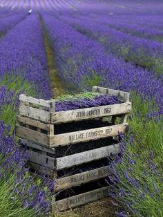 Lavender ✿⊱╮ by VoyageVisuel