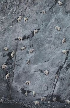 Mountain Goat (Oreamnos americanus) herd licking salt and minerals from steep, r.Mountain Goat (Oreamnos americanus) herd licking salt and minerals from steep, rocky slope known as the Walton Goat Lick, Glacier National Park, Montana © Minden Pict Nature Animals, Animals And Pets, Funny Animals, Cute Animals, Wildlife Nature, Wild Animals, Forest Animals, Beautiful Creatures, Animals Beautiful