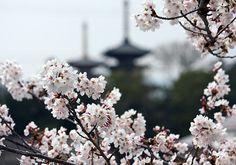桜に隠れる薬師寺の塔