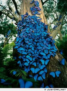 Blue butterflies  on tree: so magnificent